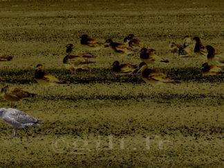 Oiseaux sur la Plage - Gilt réf.: M52 - Thème Mer - Estampe