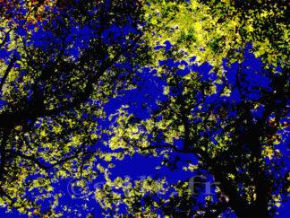 Contre jour - arbres - branches - feuilles jaunes - Ciel bleu Gilt réf.: AM03 - Thème Arbres et Mousses - Estampe