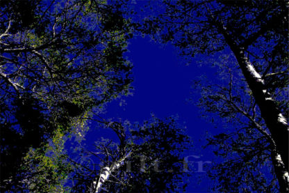 Contre jour - Cime d'arbres - Ciel bleu nuit Gilt réf.: AM08 - Thème Arbres et Mousses - Estampe