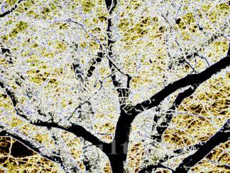 Arbres - branches et feuillage lumineux Gilt réf.: AM09 - Thème Arbres et Mousses - Estampe