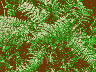 Fougères sur fond noir - Fond marron Gilt réf.: AM15 - Thème Arbres et Mousses - Estampe