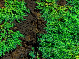 Mousse sur tronc d'arbre Gilt réf.: AM18 - Thème Arbres et Mousses - Estampe