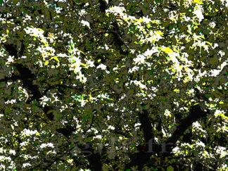 Arbre et feuilles lumineuses Gilt réf.: AM21 - Thème Arbres et Mousses - Estampe